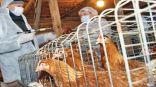 روسيا تحذر من انتشار نوع جديد لإنفلونزا الطيور